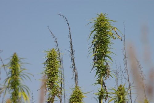 The green female seed-bearing hemp plants, and the brown male hemp plants which have already pollinated the females and completed their life function.