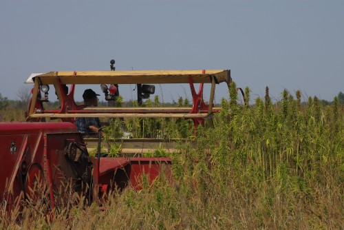 John Briscoe begins the hemp harvest.