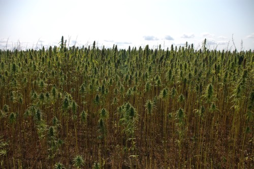 The field of ESTA-1 variety hemp, showing the relatively weed free ground below the plants.