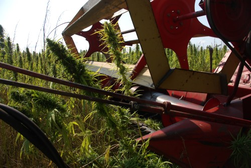 Looking at the stalks as they are being cut by the header of the combine.