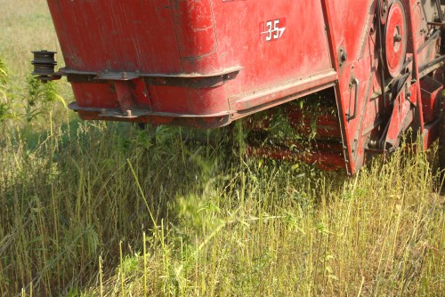 The chaff coming out from behind the combine. 3 foot tall cut stalks are in evidence all around the rear of the combine.