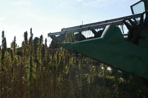 The header approaches the hemp crop