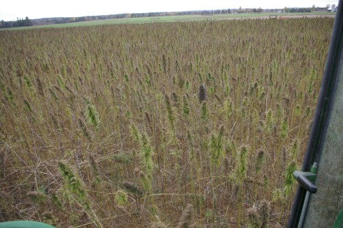 The view out the combine window of the hemp field.
