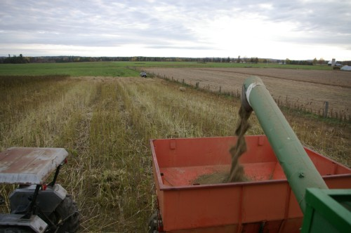 A day's harvest coming out the combine's screw auger into the grain trailer.